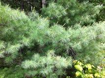在橡树岭足迹的杉木在加拿大 免版税库存图片