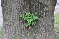 在橡树的树干的树 图库摄影