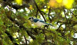 在橡树的蓝色尖嘴鸟 图库摄影