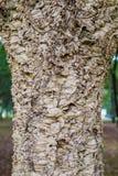 在橡树的黄柏吠声 免版税库存图片