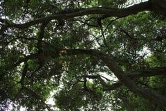 在橡树里面 免版税库存图片