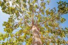 在橡胶树种植园下 图库摄影