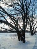 在欢乐雪礼服的古老多枝橡树有柔和的蓝天的在背景中 库存图片