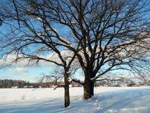 在欢乐雪礼服的古老多枝橡树有柔和的蓝天的在背景中 库存照片