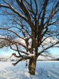 在欢乐雪礼服的古老多枝橡树有柔和的蓝天的在背景中 免版税库存图片