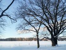 在欢乐雪礼服的古老多枝橡树有柔和的蓝天的在背景中 免版税库存照片
