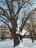 在欢乐雪礼服的古老橡树在软的早晨阳光下 免版税库存照片