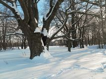 在欢乐雪礼服的古老橡树在软的早晨阳光下 图库摄影