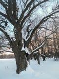 在欢乐雪礼服的古老橡树有在背景的淡蓝的天空的 图库摄影