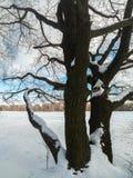 在欢乐雪礼服的古老橡树有在背景的淡蓝的天空的 免版税库存图片