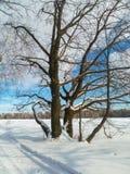 在欢乐雪礼服的古老橡树有在背景的淡蓝的天空的 库存照片
