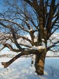 在欢乐雪礼服的古老橡树有在背景的淡蓝的天空的 免版税图库摄影