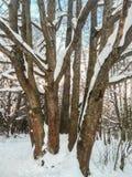 在欢乐雪礼服的老多管式的橡树有在背景的淡蓝的天空的 免版税库存图片