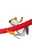 在欧亚甘草绳索的红眼睛的雨蛙 库存图片
