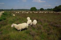 在欧石南丛生的荒野的绵羊 库存照片