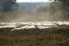在欧石南丛生的荒野的绵羊 库存图片