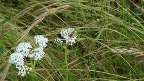 在欧蓍草的昆虫 库存照片