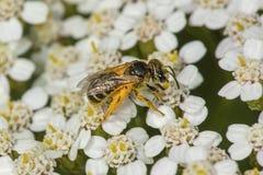 在欧蓍草的橙色花粉盖的蜂蜜蜂开花, Connecticu 图库摄影