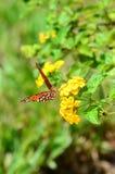 在欧蓍草的红色Butteryfly 免版税库存照片