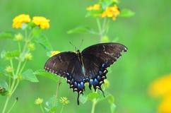 在欧蓍草的Butteryfly 免版税图库摄影