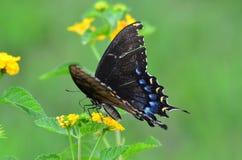 在欧蓍草的Butteryfly 库存照片