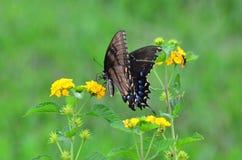 在欧蓍草的Butteryfly 免版税库存照片
