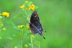 在欧蓍草的Butteryfly 免版税库存图片