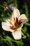 在欧洲庭院里耕种的美丽的花 开花的奶油色黄花菜(百合)与其他植物比较了在庭院里 图库摄影