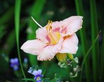在欧洲庭院里耕种的美丽的花 开花的桃红色黄花菜(百合)与其他植物比较了在庭院里 免版税库存照片