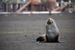 在欺骗岛的一条南极海狗在南极洲 免版税库存图片