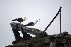 在欺骗岛,南极洲的海带鸥 免版税图库摄影