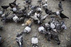 在正方形的鸽子 库存图片