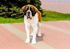 在正面的莫斯科看家狗 图库摄影