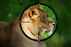 在步枪视域的雌狮 库存照片