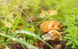 在步行的一只蜗牛通过草 库存图片