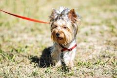 在步行的一条小约克夏狗狗室外晴朗的夏日 库存照片