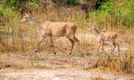 在步行的两只羚羊在圣所 库存图片