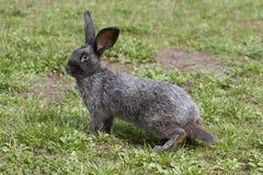 在步行的兔子 免版税库存照片