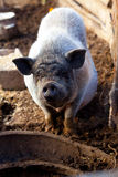 在步行的大猪 库存照片