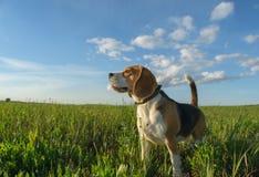在步行的小猎犬在一个绿色领域在夏天晚上 库存照片