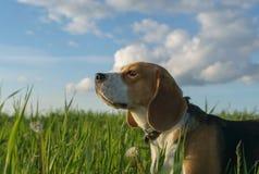 在步行的小猎犬在一个绿色领域在夏天晚上 免版税库存照片