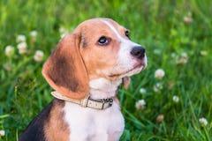 在步行的小猎犬小狗在一个平静的夏天晚上 一只聪明的小狗的画象与温和的恳求的神色的 免版税图库摄影