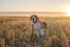 在步行的小猎犬狗在雾的一个秋天早晨 免版税图库摄影