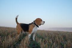 在步行的小猎犬狗在雾的一个秋天早晨 免版税库存照片