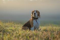 在步行的小猎犬狗在雾的一个秋天早晨 库存照片