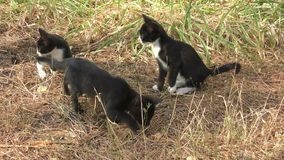 在步行的小猫 股票视频
