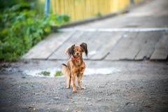 在步行的小的逗人喜爱的狗 库存图片