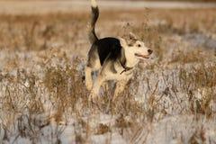 在步行的幼小多壳的小狗在雪原 免版税库存图片