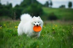 在步行的愉快的狗 库存照片
