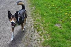 在步行的愉快的狗 库存图片